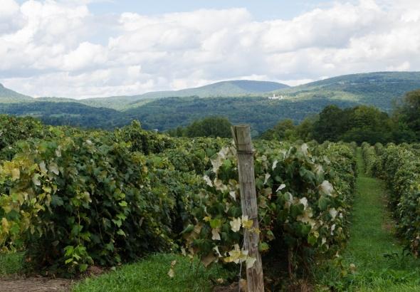 grape_vineyard_wine.jpg